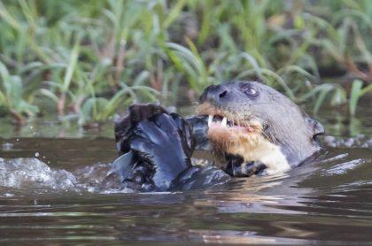 Nutria gigante comiendo ilustra nota sobre ese animal cazando una iguana en Colombia, algo nunca antes visto