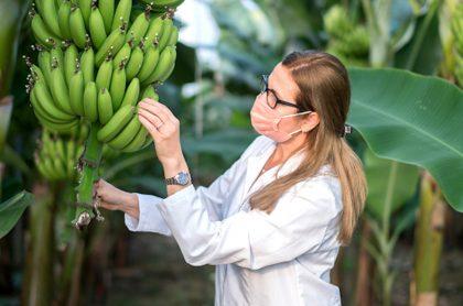 Científica revisa un racimo de bananos.