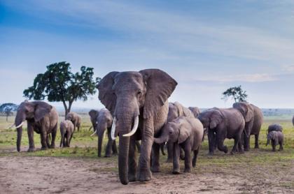 Grupo de elefantes, ilustra nota de video de elefantes arrasan con campo de banano, pero dejan en pie planta con nido