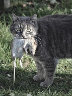 Más de 1.000 gatos combaten las ratas en Chicago