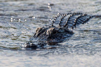 Cocodrilo en lago, ilustra nota de estadounidense lucha contra cocodrilo para salvar a su perro