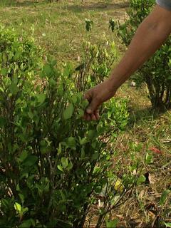 Imagen de mata de coca ilustra artículo Cultivos de coca en Colombia se redujeron 7% en 2020, hasta 143.000 hectáreas
