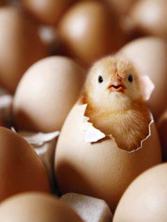 Precio del pollo y los huevos se mantendrá alto durante un año y medio más