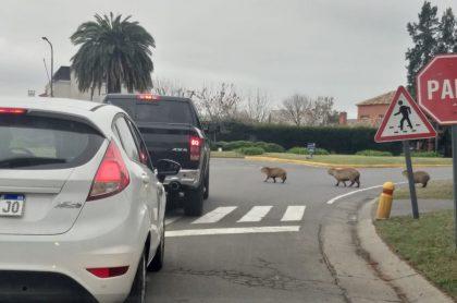 Chigüiros invaden barrio residencial en Argentino y atacan a mascotas, video