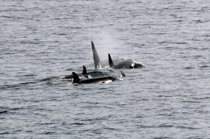 Video: grupo de orcas atacó a un velero con 4 tripulantes, en España