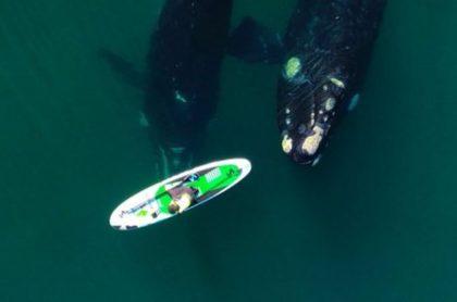 Maravillosos videos de ballenas jugando con mujer que practica 'paddle surf'
