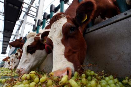 Imagen de vacas ilustra artículo Cambio climático: metano, el otro gas que buscan combatir
